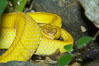 McGregors tree viper. Image #12625