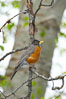 American robin.  Yosemite Valley. Yosemite National Park, California, USA. Image #12665