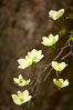 Mountain dogwood, or Pacific dogwood, Yosemite Valley. Yosemite National Park, California, USA. Image #12676