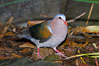 Emerald dove, native to Southeast Asia. Image #12753