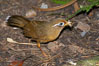Hwamei, a bird native to China, Taiwan and Indochina. Image #12759