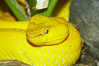 McGregors tree viper. Image #12814