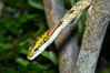 Twig snake.  The twig snake is back-fanged, having its short fangs situated far back in the mouth.  Its venom will subdue small prey such as rodents.  Its is well camouflaged, resembling a small twig or branch in the trees that it inhabits. Image #12816