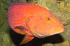 Coral grouper. Image #12882