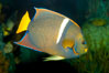 King angelfish. Image #12889