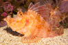 Weedy scorpionfish.  Tropical scorpionfishes are camoflage experts, changing color and apparent texture in order to masquerade as rocks, clumps of algae or detritus. Image #12897