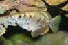 Banded archerfish.  The banded archerfish is known for its ability to shoot down resting insects by spitting a jet of water. Large archerfishes can hit a target 2-3m away. Archerfishes have adaptations to the mouth which enable spitting. When a banded archerfish shoots a jet of water, it raises its tongue against the roof of the mouth forming a tube. The gill covers quickly close forcing water along the tube. This species mostly lives in mangrove and estuarine habitats throughout much of the Indo-Pacific. Image #12904