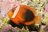 Fire clownfish. Image #12905