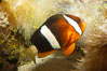 Barrier reef anemonefish. Image #12910