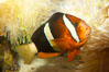 Barrier reef anemonefish. Image #12911
