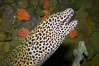Honeycomb moray eel (tesselate moray). Image #12920
