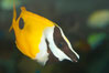 Onespot rabbitfish. Image #12949