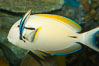 Blackstripe surgeonfish being cleaned by cleaner wrasse. Image #12962