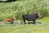 Mother and calf moose wade through meadow grass near Christian Creek. Grand Teton National Park, Wyoming, USA. Image #13037