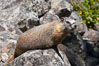Yellow-bellied marmots can often be found on rocky slopes, perched atop boulders. Yellowstone National Park, Wyoming, USA. Image #13056