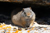 Uinta ground squirrels are borrowers. In the winter these squirrels hibernate, and in the summer they aestivate (become dormant for the summer). Yellowstone National Park, Wyoming, USA. Image #13062
