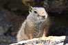 Uinta ground squirrels are borrowers. In the winter these squirrels hibernate, and in the summer they aestivate (become dormant for the summer). Yellowstone National Park, Wyoming, USA. Image #13067