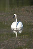 Trumpeter swan on Floating Island Lake. Yellowstone National Park, Wyoming, USA. Image #13069