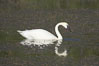 Trumpeter swan on Floating Island Lake. Yellowstone National Park, Wyoming, USA. Image #13070