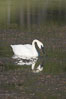 Trumpeter swan on Floating Island Lake. Yellowstone National Park, Wyoming, USA. Image #13071