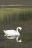Trumpeter swan on Floating Island Lake. Yellowstone National Park, Wyoming, USA. Image #13072