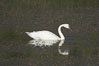 Trumpeter swan on Floating Island Lake. Yellowstone National Park, Wyoming, USA. Image #13073