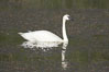 Trumpeter swan on Floating Island Lake. Yellowstone National Park, Wyoming, USA. Image #13074