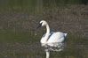 Trumpeter swan on Floating Island Lake. Yellowstone National Park, Wyoming, USA. Image #13075