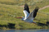 White pelican flies over the Yellowstone River. Hayden Valley, Yellowstone National Park, Wyoming, USA. Image #13108