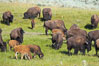 The Lamar herd of bison grazes, a mix of mature adults and young calves. Lamar Valley, Yellowstone National Park, Wyoming, USA. Image #13132