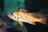 Canary rockfish, juvenile.  The bright orange color of this rockfish will not be so visible at depth, where seawater filters out the red lightwaves that allow this color to be seen. Image #13695