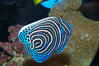 Emperor angelfish, juvenile coloration. Image #13743