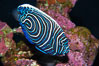 Emperor angelfish, juvenile coloration. Image #13744