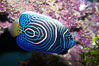 Emperor angelfish, juvenile coloration. Image #13745