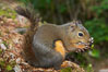 Douglas squirrel, a common rodent in coniferous forests in western North American, eats a mushroom, Hoh rainforest. Hoh Rainforest, Olympic National Park, Washington, USA. Image #13776
