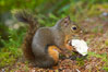 Douglas squirrel, a common rodent in coniferous forests in western North American, eats a mushroom, Hoh rainforest. Hoh Rainforest, Olympic National Park, Washington, USA. Image #13777
