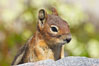 Unidentified squirrel, Panorama Point, Paradise Park. Mount Rainier National Park, Washington, USA. Image #13921