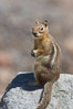 Unidentified squirrel, Panorama Point, Paradise Park. Mount Rainier National Park, Washington, USA. Image #13923