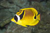 Raccoon butterflyfish. Image #13992