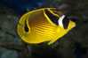 Raccoon butterflyfish. Image #13993
