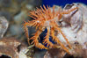Juvenile spiny king crab. Image #14492