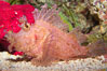 Tropical scorpionfishes are camoflage experts, changing color and apparent texture in order to masquerade as rocks, clumps of algae or detritus. Image #14497