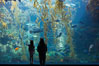 Visitors admire the enormous kelp forest tank in the Stephen Birch Aquarium at the Scripps Institution of Oceanography.  The 70000 gallon tank is home to black seabass, broomtail grouper, garibaldi, moray eels and leopard sharks. Stephen Birch Aquarium, La Jolla, California, USA. Image #14546