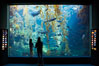 Visitors admire the enormous kelp forest tank in the Stephen Birch Aquarium at the Scripps Institution of Oceanography.  The 70000 gallon tank is home to black seabass, broomtail grouper, garibaldi, moray eels and leopard sharks. Stephen Birch Aquarium, La Jolla, California, USA. Image #14547