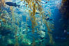 The kelp forest tank in the Stephen Birch Aquarium at the Scripps Institution of Oceanography.  The 70000 gallon tank is home to black seabass, broomtail grouper, garibaldi, moray eels and leopard sharks. Stephen Birch Aquarium, La Jolla, California, USA. Image #14548