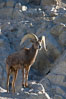 Desert bighorn sheep, male ram.  The desert bighorn sheep occupies dry, rocky mountain ranges in the Mojave and Sonoran desert regions of California, Nevada and Mexico.  The desert bighorn sheep is highly endangered in the United States, having a population of only about 4000 individuals, and is under survival pressure due to habitat loss, disease, over-hunting, competition with livestock, and human encroachment. Image #14654