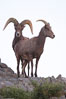 Desert bighorn sheep, male ram and female ewe.  The desert bighorn sheep occupies dry, rocky mountain ranges in the Mojave and Sonoran desert regions of California, Nevada and Mexico.  The desert bighorn sheep is highly endangered in the United States, having a population of only about 4000 individuals, and is under survival pressure due to habitat loss, disease, over-hunting, competition with livestock, and human encroachment. Image #14656