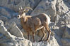 Desert bighorn sheep, female ewe.  The desert bighorn sheep occupies dry, rocky mountain ranges in the Mojave and Sonoran desert regions of California, Nevada and Mexico.  The desert bighorn sheep is highly endangered in the United States, having a population of only about 4000 individuals, and is under survival pressure due to habitat loss, disease, over-hunting, competition with livestock, and human encroachment. Image #14659