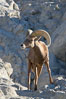 Desert bighorn sheep, male ram.  The desert bighorn sheep occupies dry, rocky mountain ranges in the Mojave and Sonoran desert regions of California, Nevada and Mexico.  The desert bighorn sheep is highly endangered in the United States, having a population of only about 4000 individuals, and is under survival pressure due to habitat loss, disease, over-hunting, competition with livestock, and human encroachment. Image #14661
