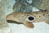 Epaulette shark.  The epaulette shark is primarily nocturnal, hunting for crabs, worms and invertebrates by crawling across the bottom on its overlarge fins. Image #14958